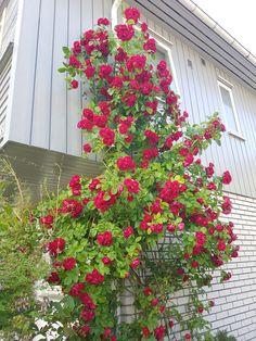 Flammentanz imponerer i år Garden, Plants, Garten, Lawn And Garden, Gardens, Plant, Gardening, Outdoor, Yard