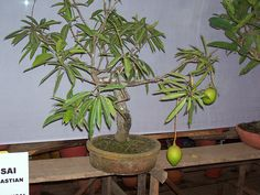 I was actually thinking of espalier mango trees, how we can train them to fit in the smallest of space yet fully exposed to the sun. Has anyone attempted this on mangos? Tim these are some pics of mango bonsais via google search