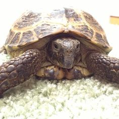 How to Care for Your Pet Russian Tortoise: Russian Tortoises require specific environmental conditions in order to thrive. Appropriate enclosures, moisture levels and nutrition are imperative to their health. #riverroadvet #russiantortoise