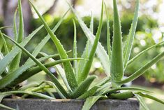 If you like products containing aloe vera you should consider making your own. You'll need to learn how to grow aloe vera plants. It is quite easy growing aloe vera if we keep in mind that most of us don't live in its natural habitat. Indoor Cactus, Cactus Plants, Indoor Plants, Growing Aloe Vera, Aloe Vera Uses, Fleur Orange, Drought Resistant Plants, Pot Plante, Plantation