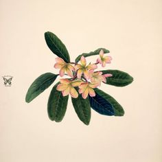 Norton, E., Brazilian flowers, drawn from nature in the years in the neighbourhood of Rio de Janeiro, t. 26 From the Swallowtail Garden Seeds collection of botanical photographs and illustrations. Indian Flowers, Pretty Flowers, Wild Flowers, Flowers Drawn, West Indian, Watercolor Flowers, Watercolour, Skull Art, Botanical Illustration