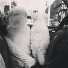 Waiting... Maltese Puppies, Dogs And Puppies, Malteser, Kinds Of Dogs, Little Dogs, In A Heartbeat, Beckham, Doggies, Fur Babies