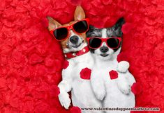 couple of two dogs lying in bed full of red rose flower petals as background , in love on valentines day, cuddle and embracing a hug , Valentines Day Poems, Images For Valentines Day, Valentine Dog, Cute Animal Pictures, Dog Pictures, Valentine's Day Outfit, Two Dogs, Dog Costumes, Jack Russell Terrier