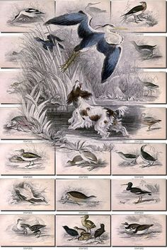 BIRDS-129 Collection of 67 Water Rail Swan Shoveller Eider Duck Guillemot Petrel vintage pictures digital download printable 300 dpi animals           data-share-from=listing        >           <span class=etsy-icon