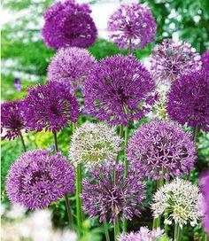 """Allium-Mix """"Big Head"""",12 Zwiebeln"""