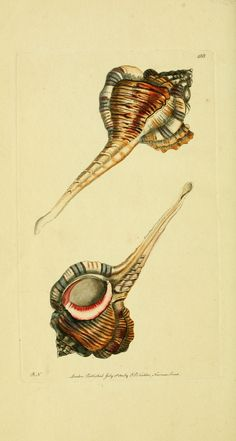 "Art - Shell ""Pipe Murex"" - by George Shaw - Natural History Print"