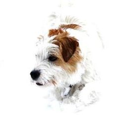 Jack Russell terrier#dogs#Fay <3 (Jack Beauty Fay)