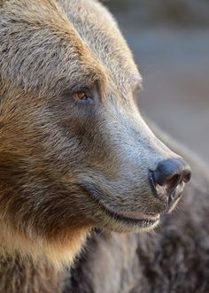 """sdzoo: """" Grizzly Portrait by Mike Wilson """""""