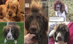 Dog handler reveals the very stylish hair of his Spaniel | Daily Mail Online