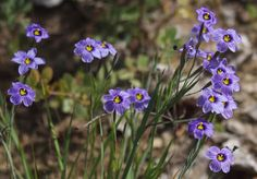 Blue Eyed Grass in t