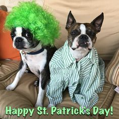 Happy Saint Patrick's Day...from the dogs!  St. Patrick's the Boston Terrier way!
