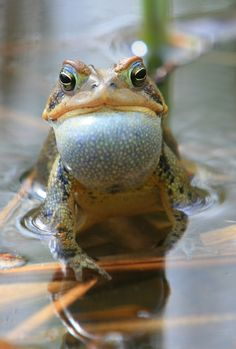 American Toad in Spring