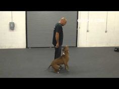 Got K9 Pitbull Dog Training in Las Vegas Nevada  	    	  		In this video, Got K9, a dog trainer in Las Vegas, does some pitbull dog training and shows us how they trained a pitbull.