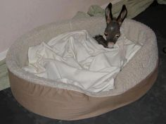 A baby Burro sleeps in a cozy doggy bed.