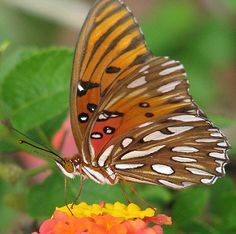 Gulf fritillary | View Large first in the yard this summer -… | Flickr