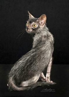 Lykoi cat. Love it!!
