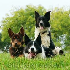 Young Kelpie sheepdog lying down with two border collies