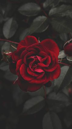 A Dozen Red Roses iPhone Wallpapers for Valentine's Day   Preppy Wallpapers
