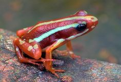 Phantasmal poison dart frog.