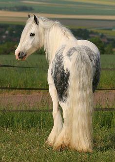 Beautiful gray draft horse