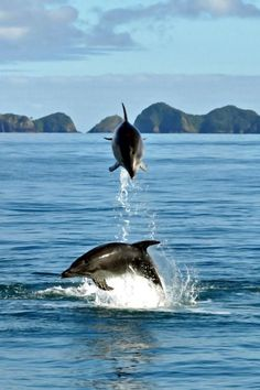 Dolphins at Play.