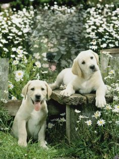 Two Young Labradors in a Daisy Field,  by Jane Burton