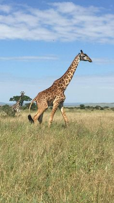 "Did you have a slightly idea about Giraffes 👉🏾 ""It's an incredibly difficult thing to bring a #Giraffe down. They can kill a lion with a single blow from their feet 😱😱"" Get to know it all and much more through #SafarisAfrica-Tanzania with zaratours.com"