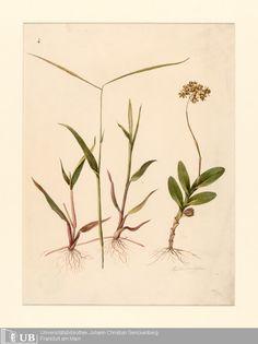 Epidendrum anceps, Louise von Panhuys, Aquarell.  Early 19th century. Digitale Sammlungen Universitätsbibliothek Frankfurt