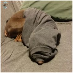 Daddy's boy wrapped in daddy's shirt. . . . #nofilterneeded #Antican #MinPin #family #dog #daddysboy #spoiled #wrotten #bratt #furever #home #MinPinCountry #thehouseisquiet #minpinburrito #howevalley #kentucky #samsungcameraphone #JehovahCreationIsAwesome