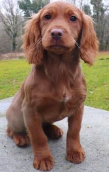 Felstead Gundogs - The History of the working cocker spaniel