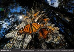 Millions+of+monarch+butterflies+spend+the+winter+at+Sierra+Chincua+in+Mexico,+one+of+only+five+places+on+earth+where+monarchs+winter+before+migrating+back+north+in+spring.++Logging+threatens+this+gathering+–+after+forest+was+cleared+from+one+of+the+sites,+the+monarchs+stopped+visiting+it.++Even+though+the+area+is+a+World+Heritage+site+with+56,000+hectares+set+aside,+logging+continues.