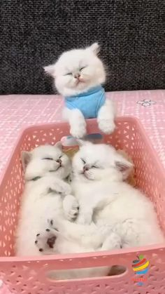Cute Little Kittens, Cute Baby Cats, Cute Cats And Kittens, Kittens Cutest, Funny Cute Cats, Cute Cat Gif, Cute Funny Animals, Cute Baby Animals, Funny Animal Images
