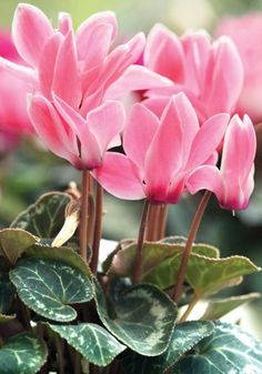 Houseplants for Better Sleep Cyclamen Hederifolium, Sowbread Cyclamen Garden Bulbs, Garden Trees, My Flower, Beautiful Flowers, Chlorophytum, Baumgarten, Fall Plants, Arte Floral, Dream Garden