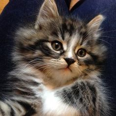 #tiger #kitten #adorble #nofilter Kittens, Cats, Photo And Video, Animals, Instagram, Cute Kittens, Gatos, Animales, Animaux