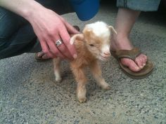 Teeny, tiny baby goat cuteness...The nasty feet in the picture not so much cuteness lol