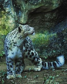 Snow Leopard - - - #wildlifeanimal#wildlife#wild#life #animal#animals#amazing#animales #animallover#animalsofinstagram#good #followforfollow#animalface#instagood #followme#instatag#pet#pets #petscorner#petoftheday#cute#love #follow4follow#followback#nature #природа#животные#дикиеживотные#дикие