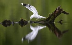 A gull rests on driftwood in a pond in Belarus. | (AP Photo/Sergei Grits)