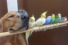 Bob the Golden Retriever Adorably Befriends Birds and a Hamster - Pet360 Pet Parenting Simplified