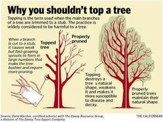 Why you shouldn't top a tree!