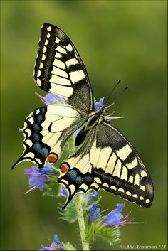 Swallow-tail: Papilio machaon - Flickr - Photo Sharing!