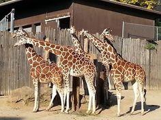 Oakland Zoo - Giraffes