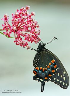 Black Swallowtail Butterfly on Swamp Milkweed