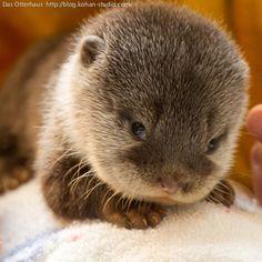 Nog nooit in het echt gezien: een baby-otter. Ziet er wel erg lief uit!