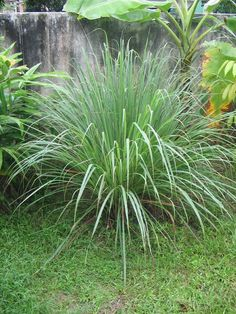 Lemongrass: Repels fleas, ticks and mosquitoes. Plant in pots and place on your porch or patio. @ Pin Your Home