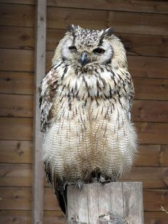 Bengal Eagle Owl. Trying to get over my fear of owls. First step, look at some pictures of some. You creepy bastards.