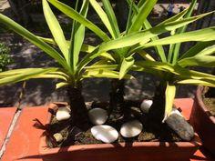 Las matas de mamá, el bonsai propio