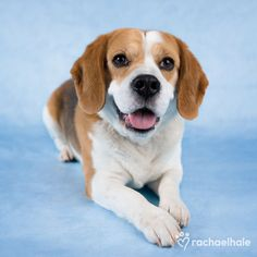 Boston (Beagle) – Daily Pet Calendar for January 16, 2013 – Rachael Hale ® The world's most lovable animals