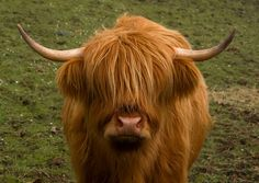 Muckle Coo - Scottish Highland Cow