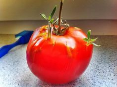 Tomato Seeds Amazingly Sprouting Inside a Tomato (Photos) : TreeHugger