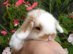 worlds cutest pet bunny!!! The holland lop bunny!! Definitely the one I'm getting!! :) can't wait!! :)